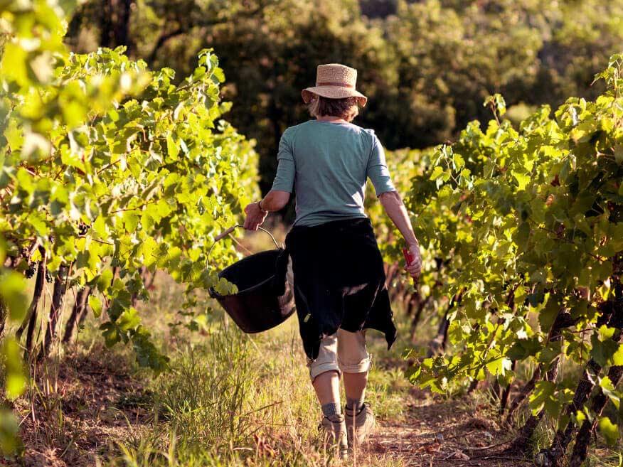 Biologische wijnmaker Le Mazelet handmatige pluk