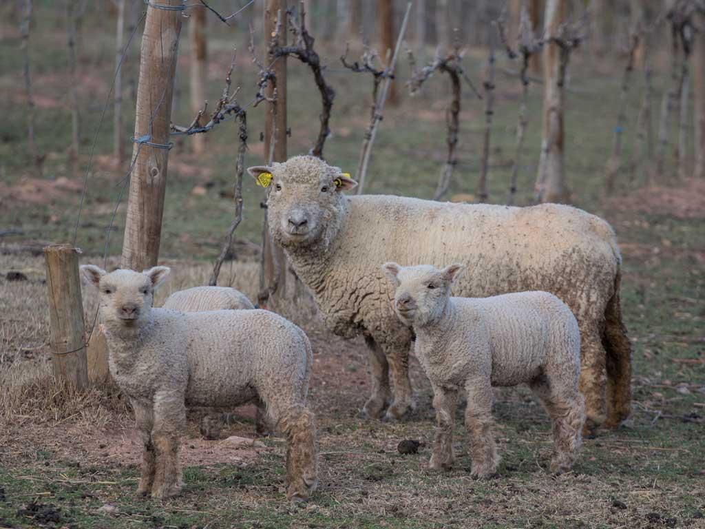 Biologische wijnmaker Sauvella Southdown schapen
