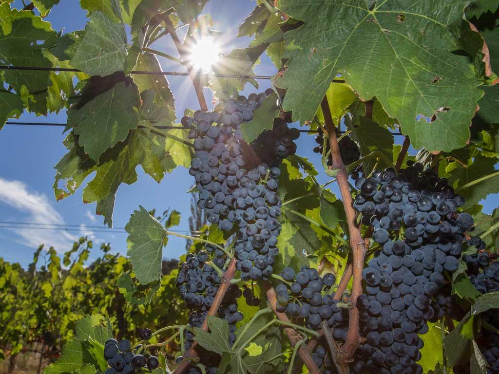 Biologische wijnmaker Sauvella druiventros
