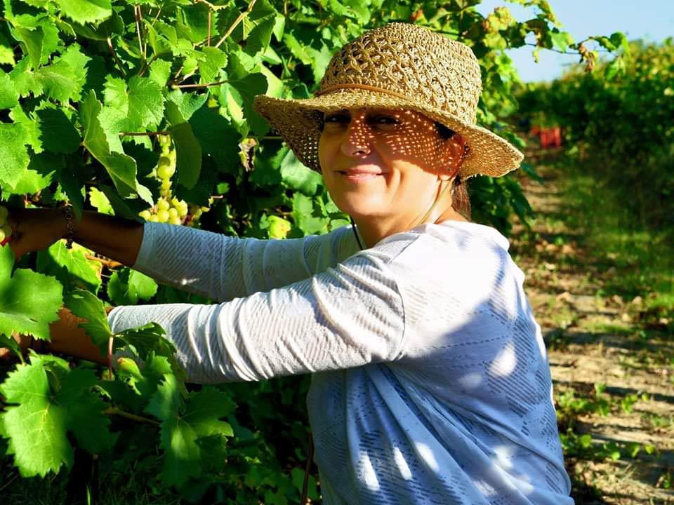 Dyonisia Brintziki plukt handmatig druiven in de biologische wijngaard